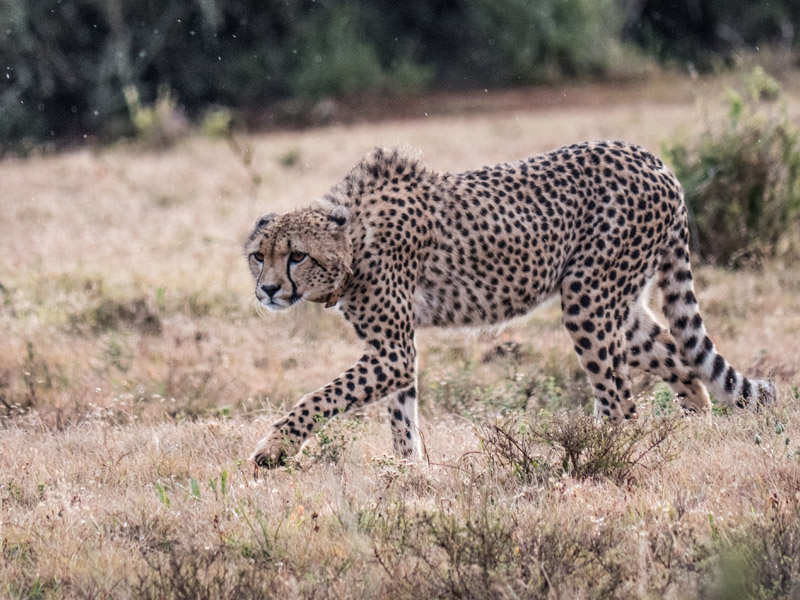 Amakhala Game Reserve Cheetah On The Hunt