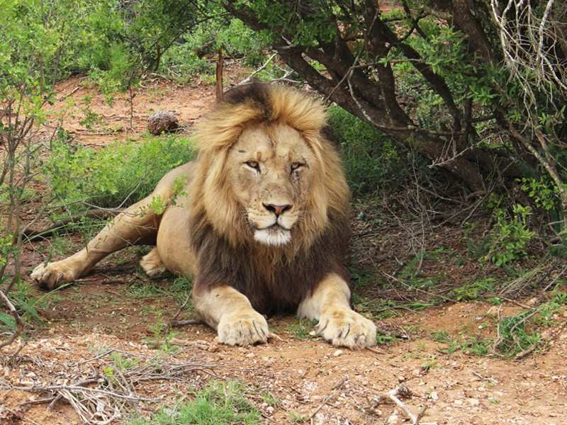 Greater Addo Port Elizabeth Accommodation Amakhala Game Reserve Lion Safari