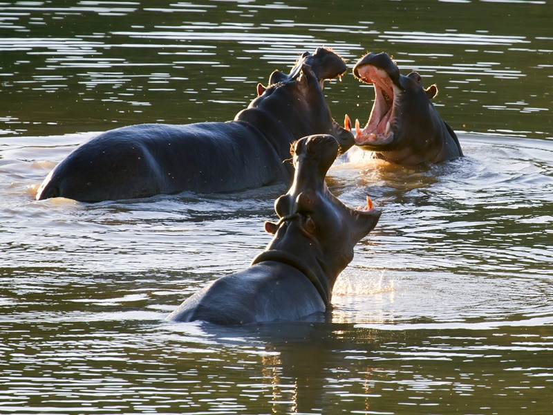 Hippos In The Waterhole