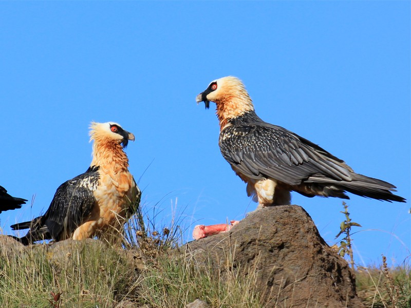 Drakensberg Accommodation Conservation Area Witsieshoek Mountain Lodge Bearded Vulture