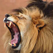 Lion Roars Hotels Lodges Lion Roar