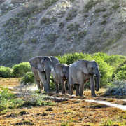 Lion Roars Hotels Lodges Safari Elephants Walking